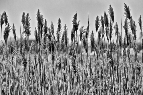 common reed grass tall flower blossom bloom seeds seedhead wetland bw monochrome black white grey gray nature landscape stlouis fairviewheights illinois usa