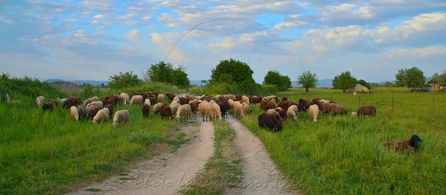 Καραγκούνα φυλή Race Karagkouna panorama