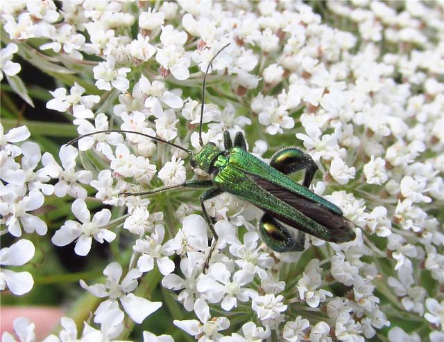 Swollen-thighed Beetle (Oedemera nobilis) (Male) 2018-07-04. Parc Slip, Aberkenfig, South Wales.