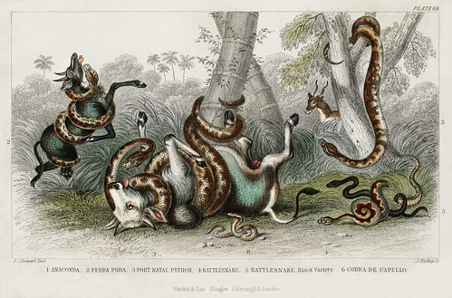 Anaconda, Pedda Poda, Port Natal Python, Rattlesnake, Rattlesnake Black Variety, and Cobra de Capello from A history of the earth and animated nature (1820) by Oliver Goldsmith (1730-1774). Digitally enhanced from our own original edition.