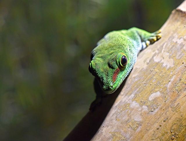 veliki madagaskarski gekon (Phelsuma madagascariensis grandis / Giant Day Gecko / Großer Taggecko)