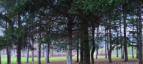 trees fir park day wood branches green krusevac srbija serbia serbien laserbie camera nikon d3200