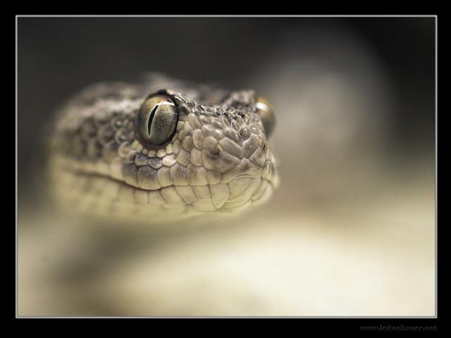 Saw Scaled Viper