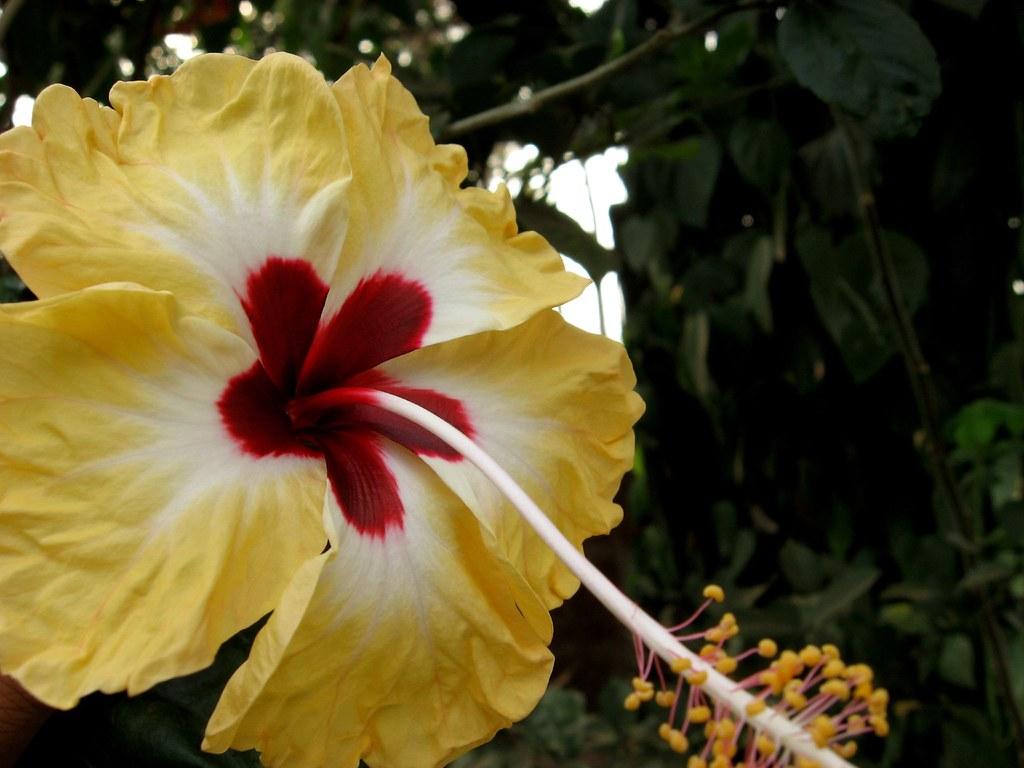 Jaswand Hibiscus Gurhal गढल Hindi Juba Kusum Manipur