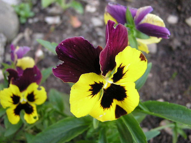 Flores Rumania 06