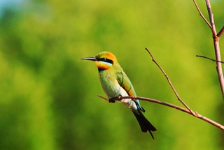 Guêpier arc-en-ciel, Merops ornatus (Rainbow Bee-eater) | by Don-Jean Léandri
