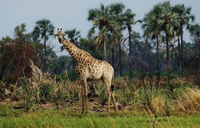 South African giraffe or Cape giraffe (Giraffa camelopardalis giraffa)__