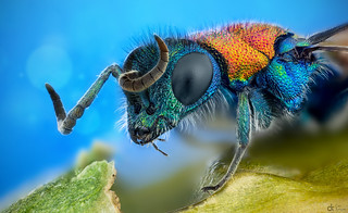 Cuckoo Wasp | by Can Tunçer