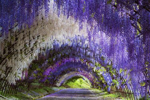 Kawachi Fuji-en Wisteria Tunnel