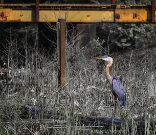 Blue Heron at Bluff Lake