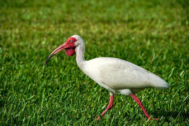 White Ibis - Mexico