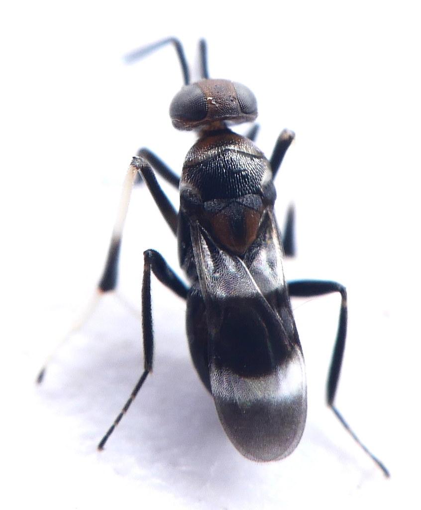 Hymenoptera Chalcidoidea Encyrtidae Encyrtinae Cheiloneuru