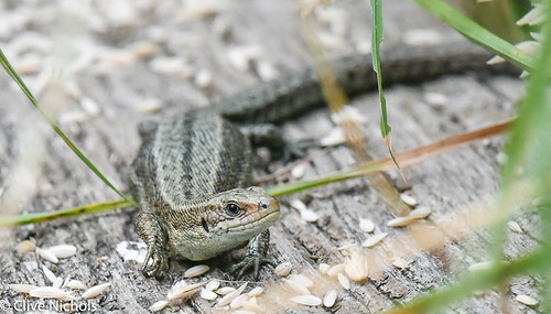 Common Lizard.-1-3