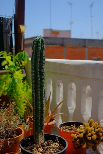 Cereus | by Horinf