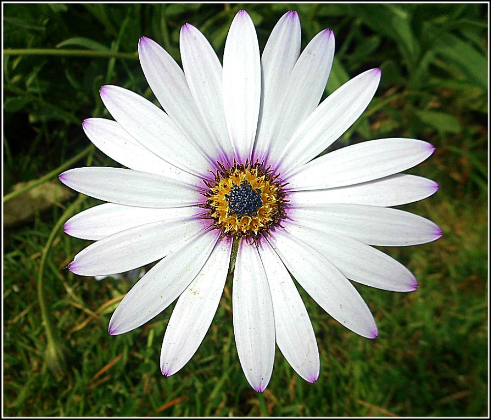 Daisy Close-Up ..