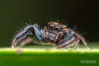 Jumping spider (Thyene sp.) - DSC_7822   by nickybay