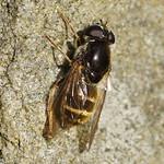 Korbblütler-Erzschwebfliege (Cheilosia canicularis / himantopus / orthotricha), Artkomplex