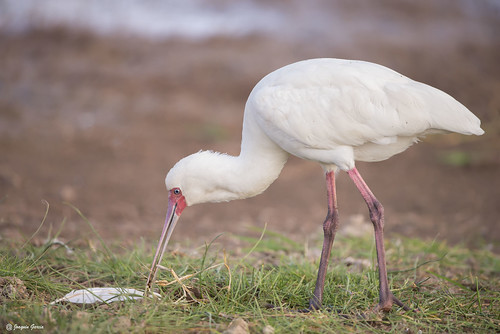 The African spoonbill (Platalea alba) | by surferjaws