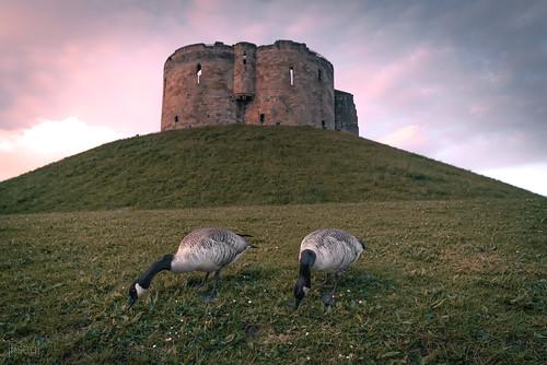 yorkshire york city history heritage architecture castle monument tower building grass geese goose bird 2018 england uk unitedkingdom britain europe urban sky nikon wideangle