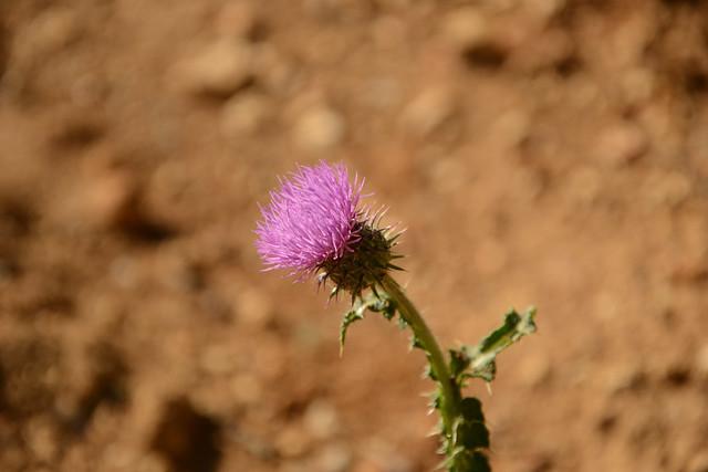 Carduus nigrescens - chardon noircissant 42065211605_afbcc4855f_z