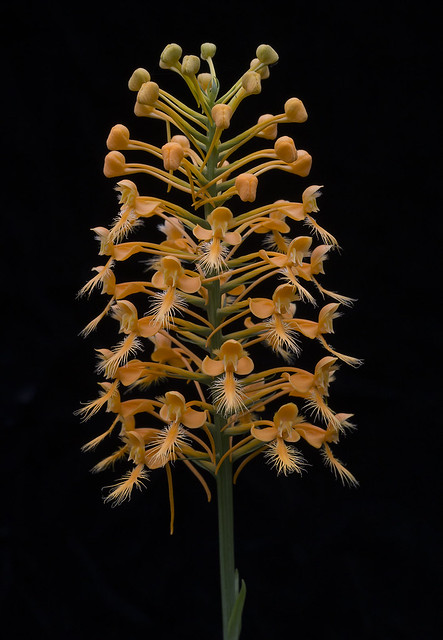 Platanthera ciliaris - black background