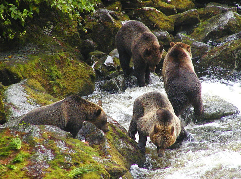 4_Brown bears at Anan Creek. Forest Service photo.