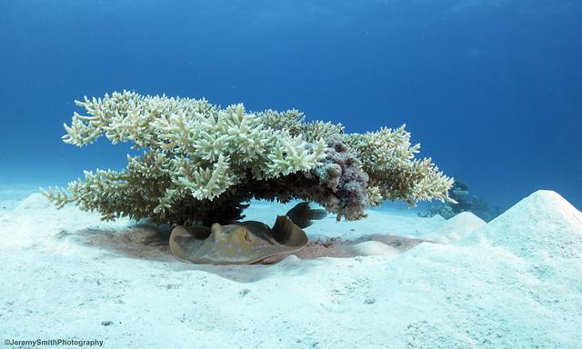 Blue-spotted Ray, Taeniura lymma, Fanous Reef, Hurgada, Red Sea