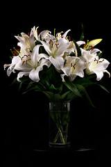 'Casa Blanca' Oriental lily (Lilium 'Casa Blanca')