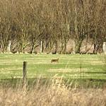 Feldhase (Lepus europaeus) im Deichbinnenland der Walsumer Rheinaue
