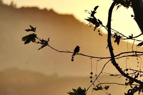 birch summer summer2018 dusk sun bird tan brown sepia yellow orange black phoebe sunset blackphoebe flycatcher birding fly california birdingincalifornia summertime2018 nature2018 birdinginsummer summerbirding