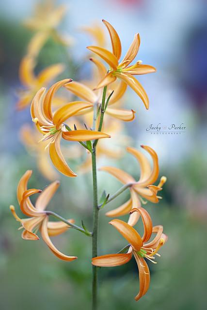 Martagon Lily Orange Marmalade