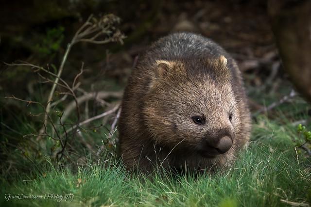 Wombat, Cradle Mountain National Park, Tasmania