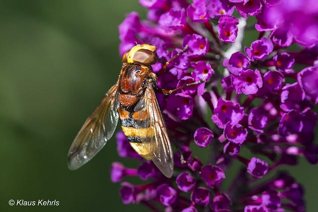 Schmetterlingsflieder - 16071802
