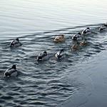Stockenten (Anas platyrhynchos) am vereisten Ufer des Baldeneysees