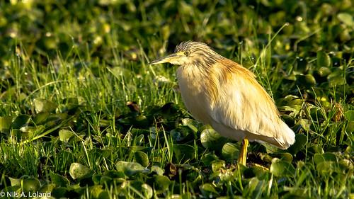 bird commonsquaccoheron fugl herons kenya lakenaivasha nikond7000 safari sigma150500mm
