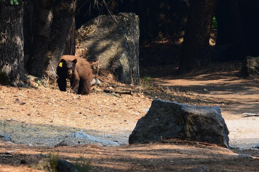 Bear #97, Natural in Yosemite
