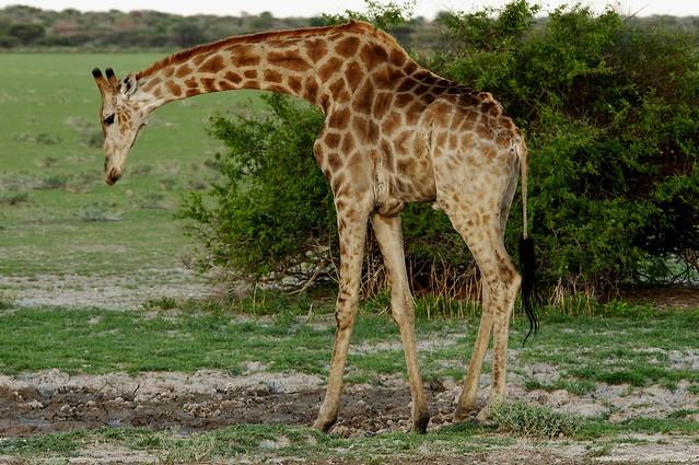 Southern Giraffe (Giraffa camelopardalis giraffa)