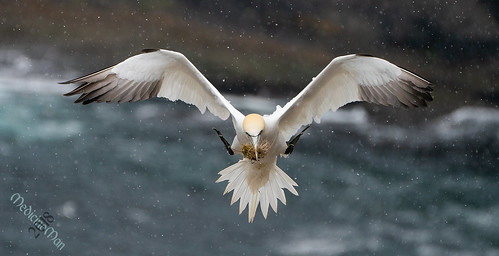Last Gannet from the trip and my favorite | by MedicineMan4040