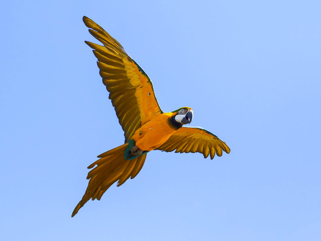 Blue and Yellow Macaw in display mode