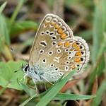 Hauhechelbläuling (Common Blue, Polyommatus icarus)