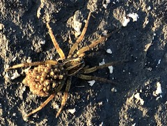 Wolf Spider with Young