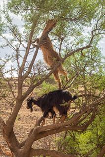 Tree-Climbing Goats | by daverodriguez