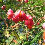 Früchte des Gewöhnlichen Pfaffenhütchens (Euonymus europaeus) in der Heisinger Ruhraue