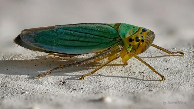 Binsenschmuckzikade oder Grüne Zwergzikade (Cicadella viridis) Weibchen