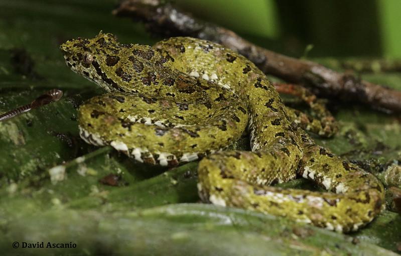 Eyelash Pit Viper, Bothriechis schlegelii_199A5548