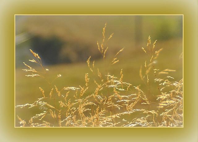 Herbe dorée par le soleil couchant