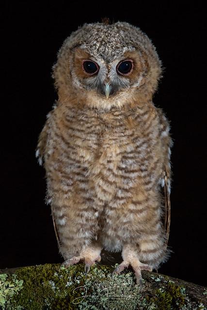 Tawny Owlet (Wild)
