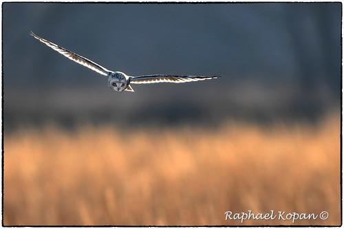 d500 nikkor600f4evr handheld raphaelkopanphotography pickawaycounty ohio nikon shortearedowl wildlife