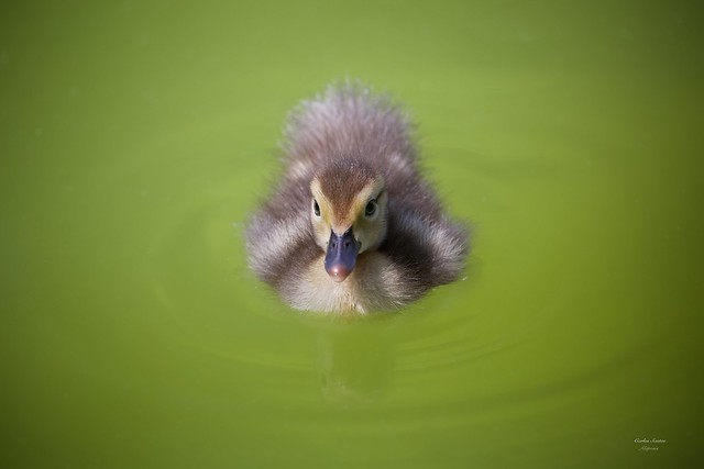 Cria de Pato