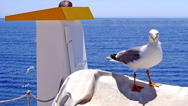 Greece, Macedonia, Aegean Sea, seagull on the boat cruising around Mount Athos peninsula